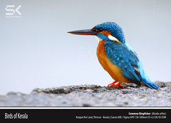 Common Kingfisher   (Alcedo atthis) (suhaaz Kechery) Tags: kerala dk thrissur commonkingfisher alcedoatthis canon60d commonkingfisheralcedoatthis birdsofkerala sigma150500 suhaazkecheryphotography kanjanikolland