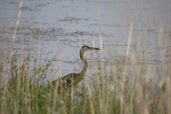 Summertime fun-14.jpg (raggedyandy321) Tags: heron nature water grass birds reflections swan fishing pond fuzzy signet rare blackbird greatblueheron peacefull beachbird birdsfishing