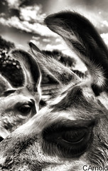 Llama Llama (justyourcofchi) Tags: park uk white black eye texture animal model flickr photographer charlotte farm arnold llama safari chi ear farnborough chiarnold justyourcupofchicom justyourcupofchi