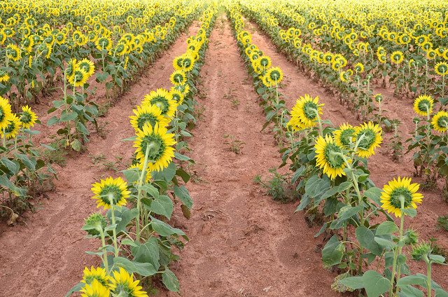 sunflowers at mckee-beshers