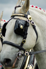 Blinkered (whitbywoof) Tags: horse white shire heavy bridle blinkers dray