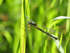 Closer to the Dragonfly, Calgary, Alberta, Canada (Michael Mckinney (Find my Twitter @MMckinneypho) Tags: from fish canada macro green calgary nature grass closeup insect flying wings nikon view you photos dragonfly or alberta everyone winged clinging hatchery d90