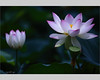 lotus flower (YORIKO'S EYE) Tags: flower magicunicornverybest magicunicornmasterpiece sbfmasterpiece sbfgrandmaster