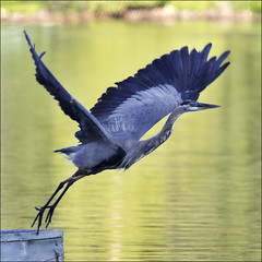 The first step is the hardest (NaPix -- (Time out)) Tags: blue portrait lake canada heron nature eh landscape wings action wildlife ngc great flight ardea npc takeoff herodias avianexcellence blinkagain bestofblinkwinners