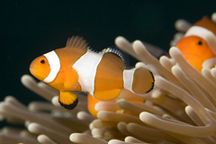 clown fish (David A Mckee) Tags: life fish photography marine underwater nemo photos clown sting famous scuba diving move anemone clark tropical tentacles