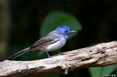 Black-naped Monarch (female) (kengoh8888) Tags: kkc thaland