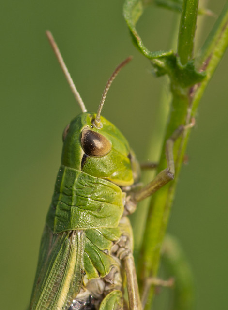 meadow grasshopper close up_
