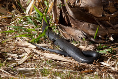 Red Bellied Black Snake (Serendigity) Tags: snake redbelliedblacksnake