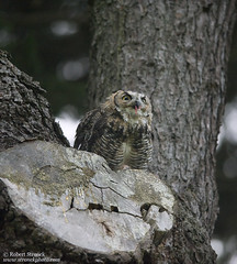 Great Horned Owl (Bob Stronck) Tags: goldengatepark greathornedowl stowlake bubovirginianus cityofsanfrancisco ©rmstronck stronckphotocom birdsofsanfranciscobay