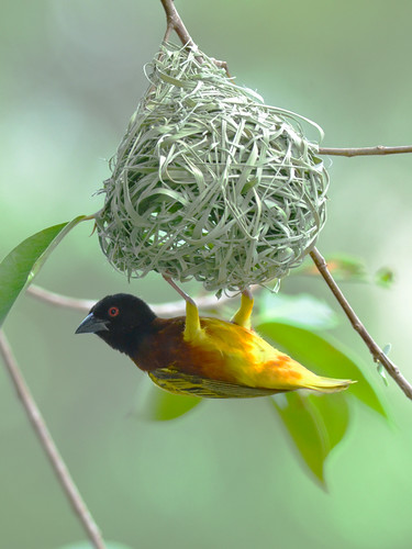 Golden-backed Weaver (Male).....* --