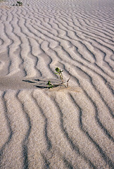 Lonely, 1985 (NettyA) Tags: sea plant beach nature coast sand december patterns south reserve australia bushwalking nsw newsouthwales ripples wilderness tasman 1985 sanddunes croajingalong capehowe nadgee janettetomsett