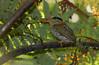 Spotted Wood Kingfisher (Actenoides lindsayi) (Bram Demeulemeester - Birdguiding Philippines) Tags: philippines luzon sierramadremountains bramdemeulemeester spottedwoodkingfisher hamutcamp birdguidingphilippines philippinesbirdingtours