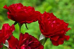 Aug072011_0895-Roses (©Delos Johnson) Tags: flowers canon garden sunflower topaz delos g9 detail4 denoise