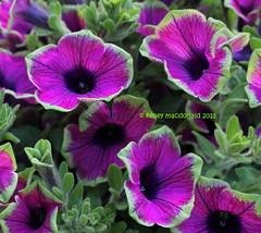 Petunia 'Pretty Much Picasso' (Kelley Macdonald) Tags: flower petunia purpleflower bicoloredflower petuniaprettymuchpicasso