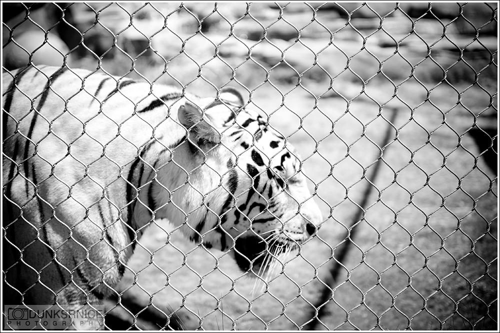 Tiger B&W.