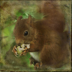 Big puppy eyes & a little tiny face ... (jinterwas) Tags: red rodent eating photoshopped free cc acorn creativecommons rood eten textured redsquirrel eet freetouse knaagdieren arealbeauty rodeeekhoorn alittlebeauty joessistah magicunicornverybest flickrstruereflection1