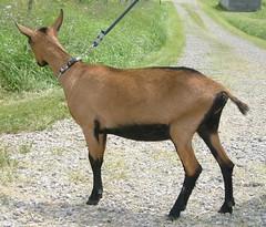 OBER-BOERD LAINE - B001521778 (Erin Cooper Young Living) Tags: goat doe american dairy genetics laine oberhasli adga 110813 goat:sex=doe goat:registry=american goat:breed=oberhasli oberboerd b001521778 goat:regnumber=b001521778 goat:regname=oberboerdlaine