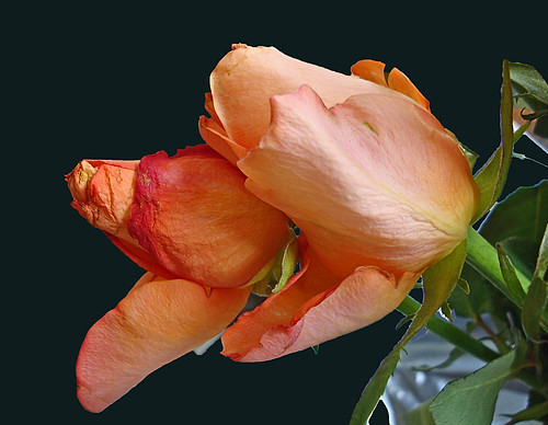 Two rose roses by Julie70