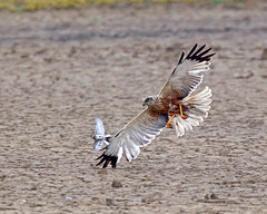 The Hunt (Andrew Haynes Wildlife Images) Tags: nature wildlife norfolk nwt marshharrier cleymarsh ajh2008