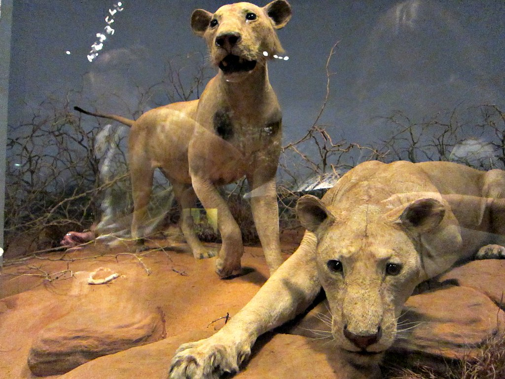 african lions research paper African lions are probably the single greatest wildlife draw card in africa discover  some interesting lion facts like how effective they are when they hunt prey etc.