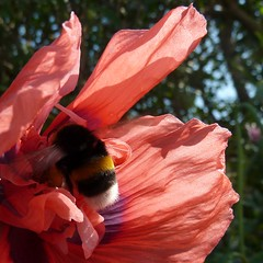 Buzzzy Bee in a Poppy