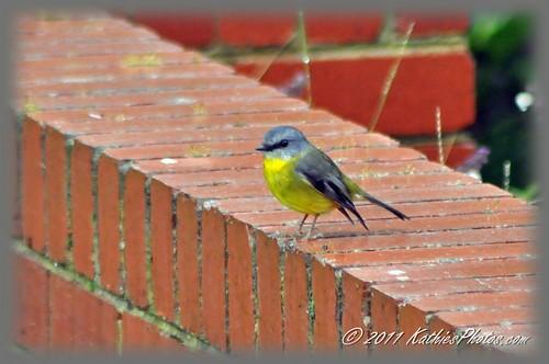192-365 Eastern Yellow Robin