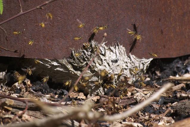 DSC_8219 wasp nest