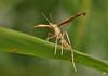 Ptérophore / Plume Moth (alain.maire) Tags: insect moth lepidoptera papillon pterophoridae insecte plumemoth lépidoptère ptérophore