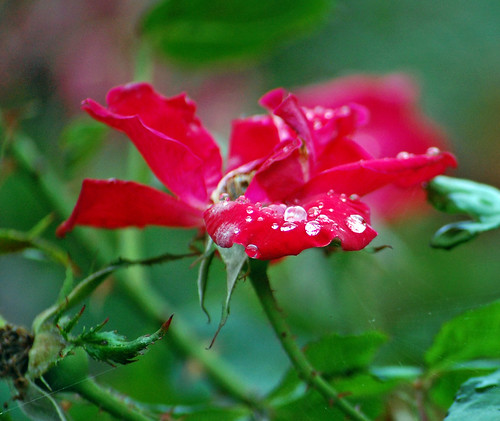 Rainy Rose  by Duncan~