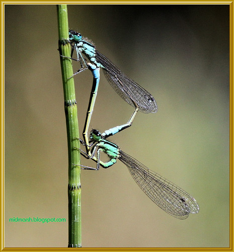 Bluetailed Damselflies 3