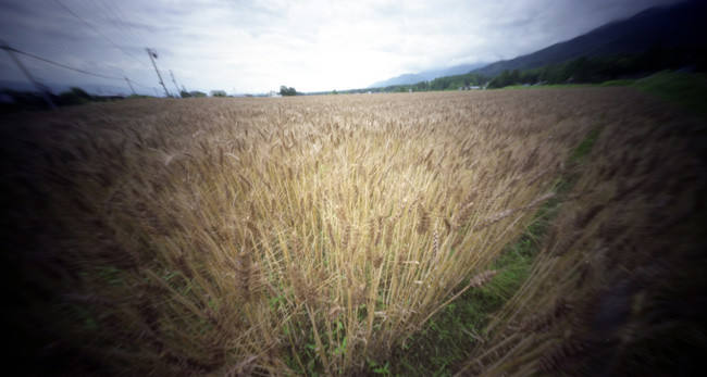Azumino Wheat Field