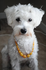 Amber Pearls (Kathryn Willis) Tags: dog amber necklace bedroom dressup schnauzer pearls poodle loki maltese schnoodle maltipoo