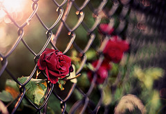 rose is a rose is a rose is a rose (|sugarlens|sara| - on a long break) Tags: light rose fence 50mm nikon bokeh july chainlink flare 18 friday hff 11714 apicaday 36511 3652011 2011inphotos sugarlens