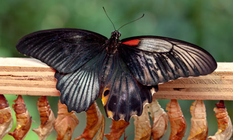 half male butterfly