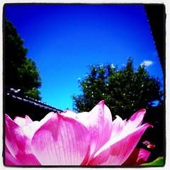 蓮の花と夏の空