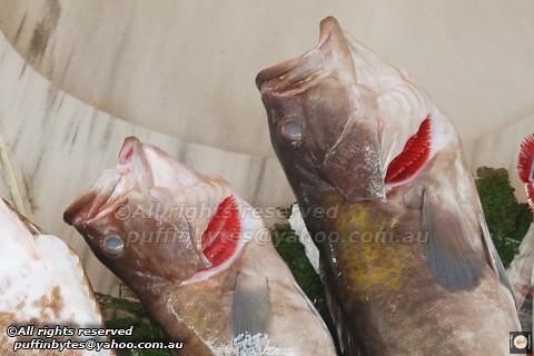Goldblotch Grouper - Epinephelus costae