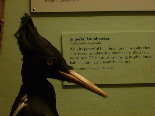 Imperial Woodpecker