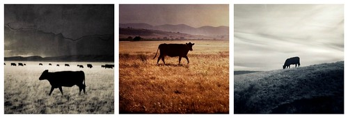 Cole Rise Cows