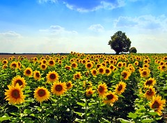 Happy summer (Tobi_2008) Tags: trees plants nature colors field yellow germany deutschland niceshot saxony natur pflanzen feld gelb sunflowers sachsen tobi bume allemagne germania farben acker sonnenblumen finegold photohobby threeangels goldengallery flickraward diamondclassphotographer flickrdiamond picturepefect platinumheartaward yourpreferredpicture qualifiedmembersonly bestcapturesaoi fleursetpaysages mygearandme mygearandmepremium mygearandmebronze mygearandmesilver mygearandmegold mygearandmeplatinum mygearandmediamond ringexcellence photographyforrecreation artistoftheyearlevel3 artistoftheyearlevel4 artistoftheyearlevel5