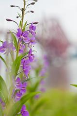 Willowherb and a Bokeh Bridge 2 (Grant_R) Tags: flower scotland flora edinburgh bokeh wildflower southqueensferry willowherb forthbridges forthrailbridge shallowdof grantr forthbridgr