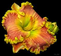 Day Lily With All The Frills (ChristopherLeeHewitt) Tags: plants flower color nature flora blossom map ngc npc daylily bloom frills doublefantasy