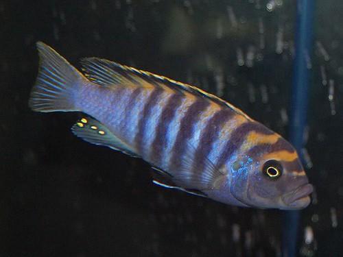 Cynotilapia afra 'Minos Reef'
