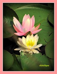 Water Lilies (clickclique) Tags: pink flowers summer fab yellow pond lilies waterlilies farandawaythebest natureiswonderful mamasbloomers waterliliesandlotusblooms