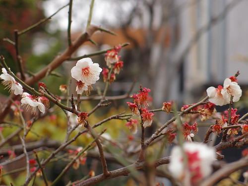 自宅 庭の梅
