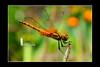 Dragonfly (Ringgo Gomez) Tags: 1001nights bigfav kfk topseven anawesomeshot flickraward flickrdiamond tamronsp90mmmacro concordians nikond700 sarawakborneo thebestshot flickraward5 flickrawardgallery