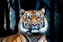 El Tigre (Tom Holbrook) Tags: nature animal digital cat canon mammal rebel zoo oz wildlife tiger sydney australia stare aussie bengal taronga tarongazoo oceania 500d t1i
