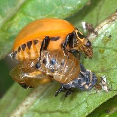 Ladybug Beetle just Eclosed from Pupa (Nikonian72) Tags: lady beetle ladybug pupa wonderfulworldofmacro photocontesttnc12
