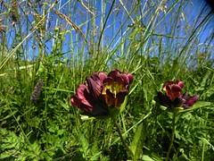 Gentiane pourpre=Gentiana purpurea - Aravis 001