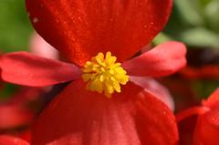 Red Flower (Dynite) Tags: kenko kenkoextension d7000 50mm14afs