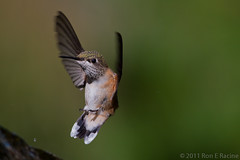 Prepare for Landing (rracine1) Tags: canada birds hummingbird bc britishcolumbia places columbia rufus british kelowna bif rufous rufoushummingbird selasphorusrufus selasphorus